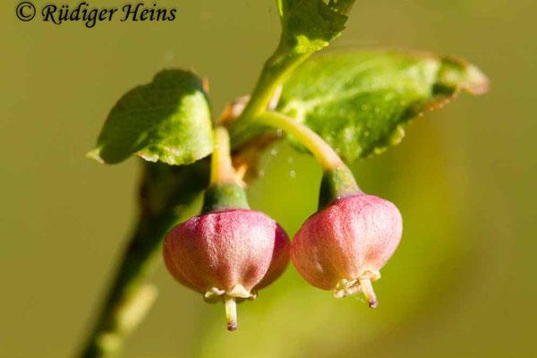 Vaccinium myrtillus (Heidelbeere), 17.5.2020
