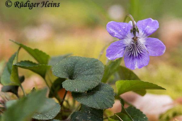 Viola riviniana (Hain-Veilchen), 30.4.2020