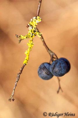 Prunus spinosa (Schlehe oder Schwarzdorn), 11.12.2018