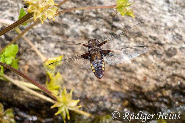 Libellula depressa (Plattbauch) Weibchen im Flug, 1.6.2008 (Ausschnitt)