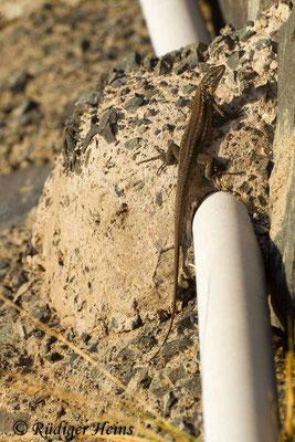 Gallotia stehlini (Gran-Canaria-Rieseneidechse) Weibchen, 3.8.2015
