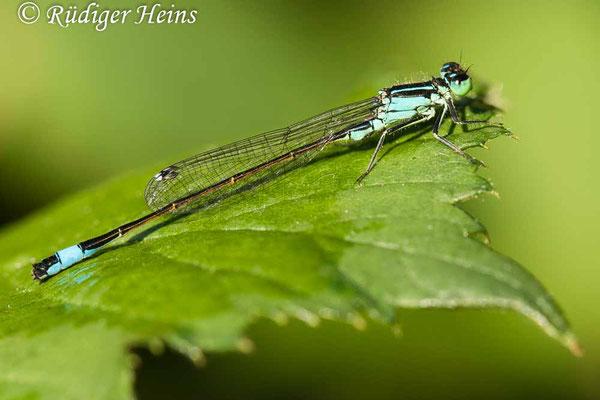 Ischnura elegans (Große Pechlibelle) Männchen, 4.8.2020