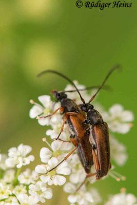 Pseudovadonia livida (Kleiner Halsbock) Paarung, 12.6.2020