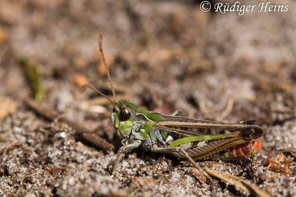 Myrmeleotettix maculatus (Gefleckte Keulenschrecke) Männchen, 21.7.2020