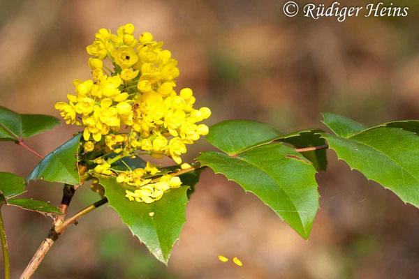 Mahonia aquifolium (Gewöhnliche Mahonie), 1.5.2010