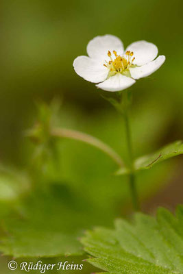 Fragaria vesca (Wald-Erdbeere), 25.5.2019