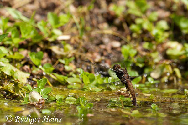 Libellula depressa (Plattbauch) Weibchen bei Eiablage, 1.6.2008 (Ausschnitt)