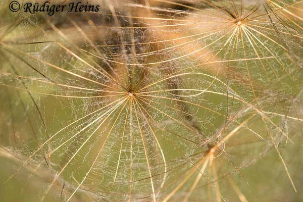 Tragopogon pratensis (Wiesen-Bocksbart), 26.6.2020