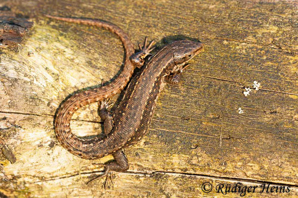 Zootoca vivipara (Waldeidechse), 6.4.2010