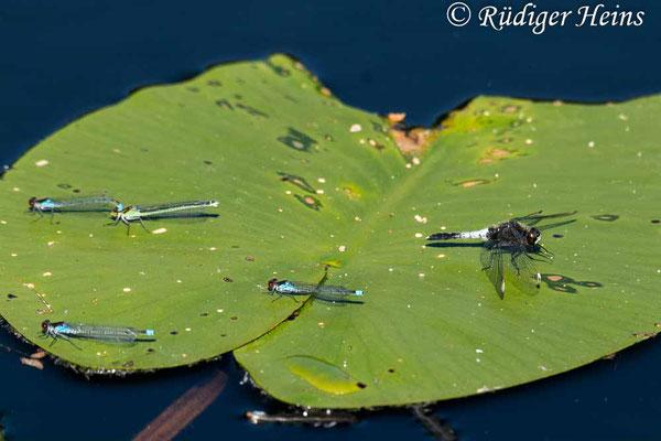 Leucorrhinia caudalis (Zierliche Moosjungfer) Männchen und Erythromma najas (Großes Granatauge), 14.6.2021