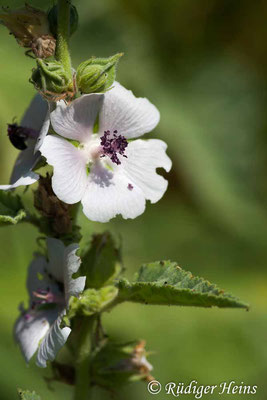 Althaea officinalis (Echter Eibisch), 21.7.2007