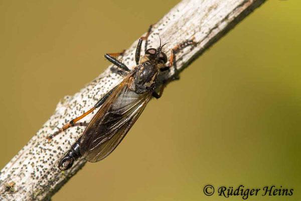 Pamponerus germanicus (Alabasterfliege) Männchen, 15.6.2021