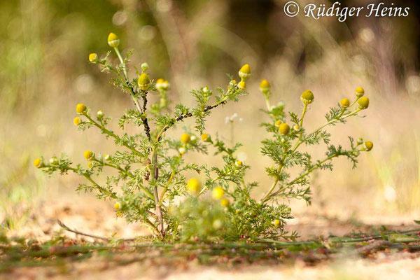 Matricaria discoidea (Strahlenlose Kamille), 21.6.2015