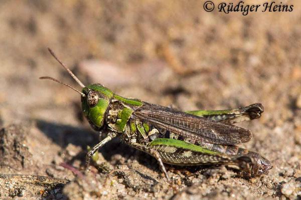 Myrmeleotettix maculatus (Gefleckte Keulenschrecke) Weibchen, 5.9.2017
