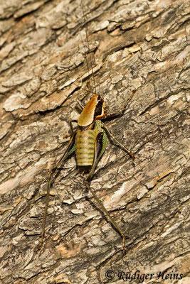 Eupholidoptera smyrnensis Männchen, 17.5.2015