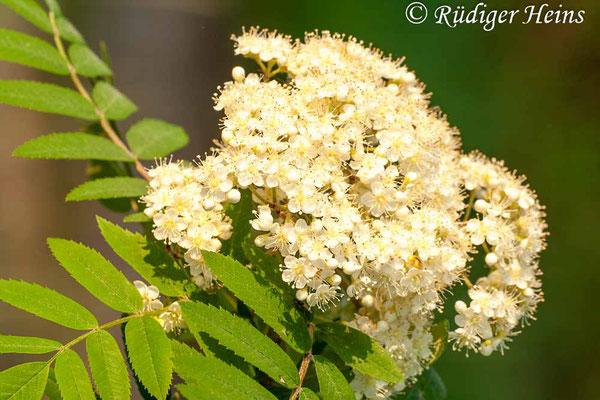 Sorbus aucuparia (Vogelbeere oder Eberesche), 10.5.2009