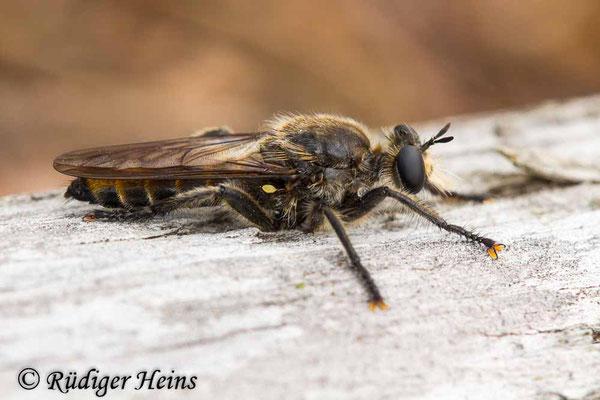 Choerades ignea (Zinnober-Mordfliege) Weibchen, 29.8.2020