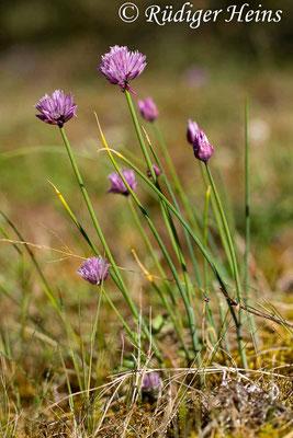 Allium schoenoprasum (Schnittlauch), 2.6.2014