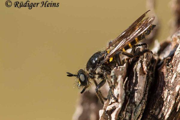 Choerades marginata (Gemeine Mordfliege) Weibchen, 29.8.2020