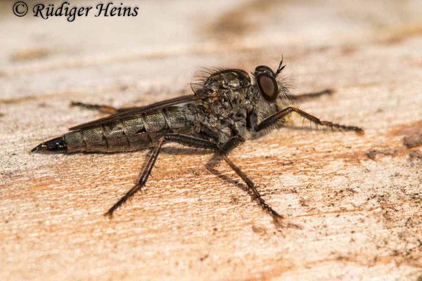 Tolmerus pyragra (Kleine Raubfliege) Weibchen, 11.9.2020