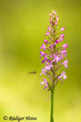 Gymnadenia conopsea (Mücken-Händelwurz), 12.7.2015
