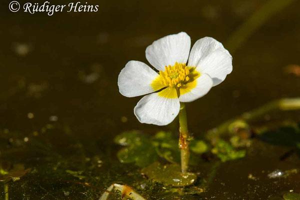 Ranunculus aquatilis (Gewöhnlicher Wasserhahnenfuß), 8.5.2020