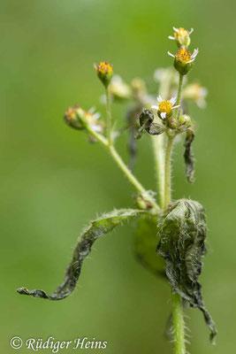 Galinsoga parviflora (Kleinblütiges Franzosenkraut), 3.12.2020