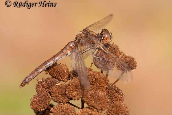 Sympetrum vulgatum (Gemeine Heidelibelle) Weibchen, 20.9.2009