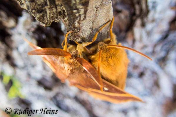 Lasiocampa quercus (Eichenspinner) Weibchen und Männchen, 23.7.2020