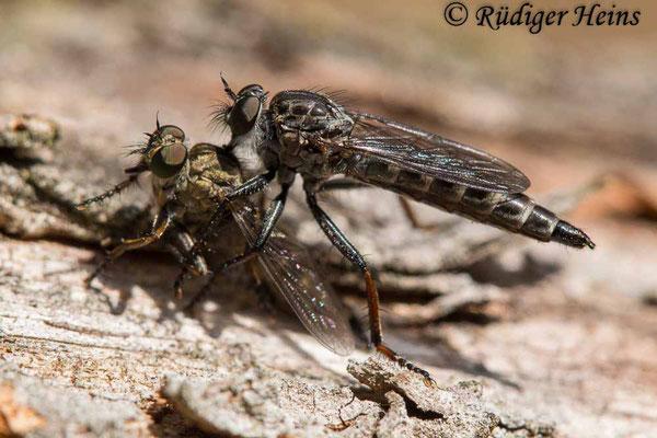 Rhadiurgus variabilis (Nordische Raubfliege) Weibchen mit Beute, 21.7.2020