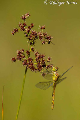 Sympetrum striolatum (Große Heidelibelle) junges Weibchen, 7.8.2020