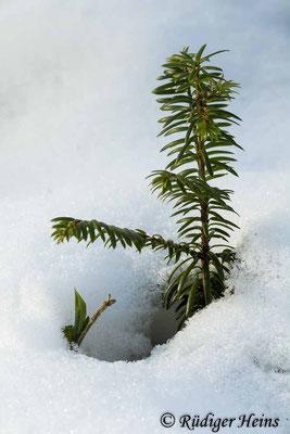 Europäische Eibe (Taxus baccata) im Schnee, 11.2.2021 - Makroobjektiv 100mm f/2,8