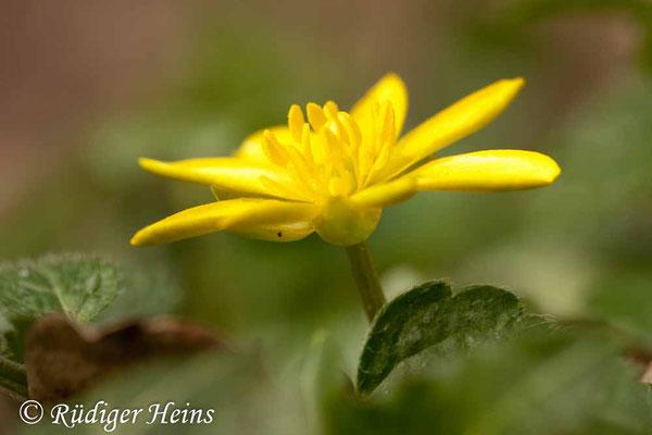 Ranunculus ficaria (Scharbockskraut), 6.4.2012