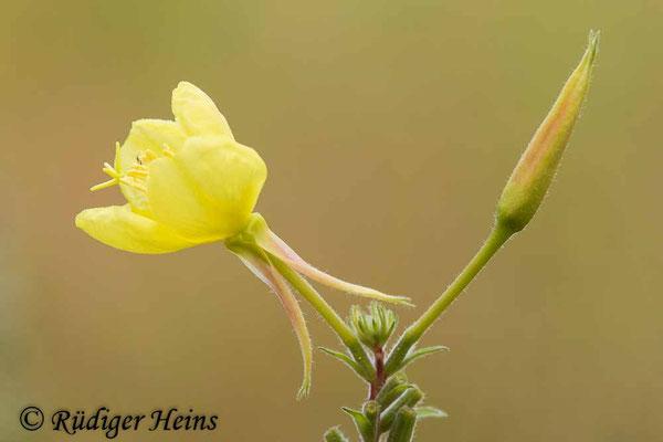 Oenothera grandiflora (Großblütige Nachtkerze), 3.8.2021