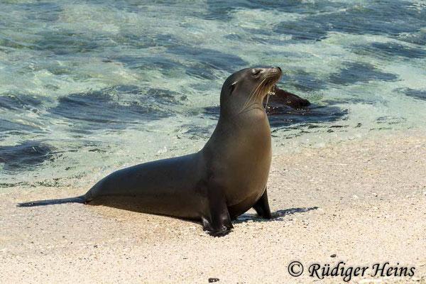 Zalophus wollebaeki (Galápagos-Seelöwe), Mosquera, 16.02.2020