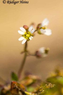 Draba verna (Frühlings-Hungerblümchen), 6.4.2020