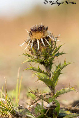 Carlina vulgaris (Golddistel), 15.9.2020