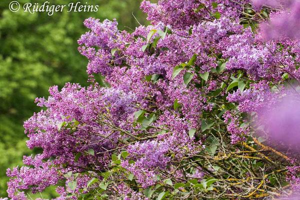 Syringa vulgaris (Gemeiner Flieder), 3.5.2020