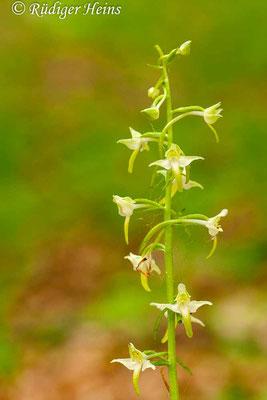 Platanthera chlorantha  (Grünliche Waldhyazinthe), 19.5.2012