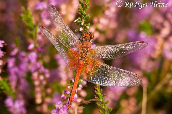 Sympetrum flaveolum (Gefleckte Heidelibelle) Männchen, 28.8.2005
