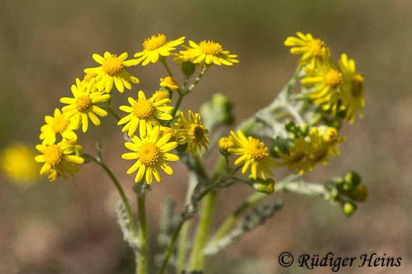 Senecio vernalis (Frühlings-Greiskraut), 27.4.2020