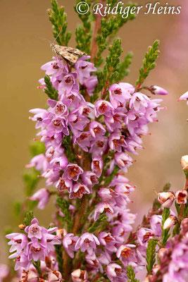 Calluna vulgaris (Besenheide), 3.9.2015