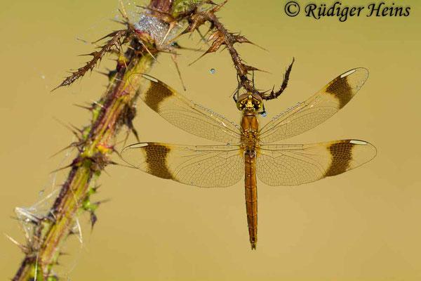 Sympetrum pedemontanum (Gebänderte Heidelibelle) Männchen, 13.8.2012