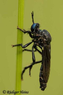 Dioctria atricapilla (Schwarze Habichtsfliege) Männchen, 10.6.2021