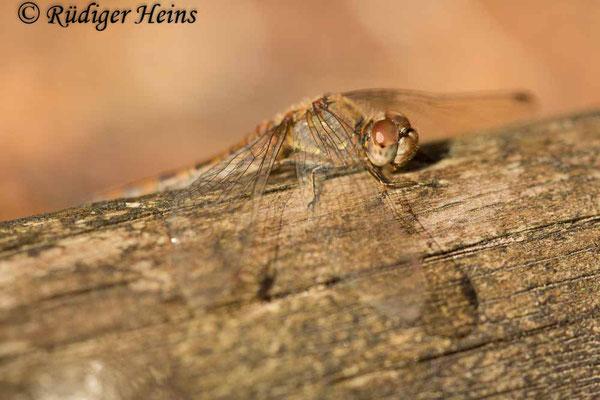 Sympetrum striolatum (Große Heidelibelle) Weibchen beim Sonnenbad, 15.11.2020