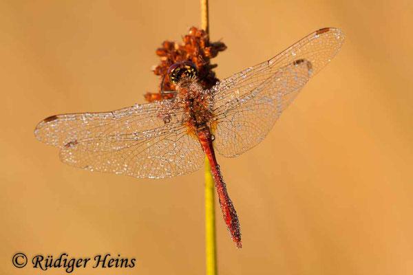 Sympetrum sanguineum (Blutrote Heidelibelle) Männchen, 29.7.2010