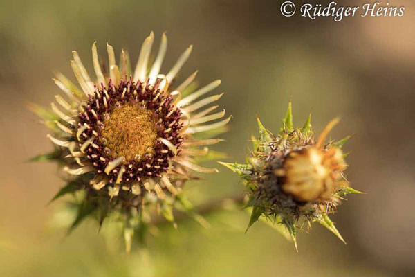 Carlina vulgaris (Golddistel), 13.8.2021