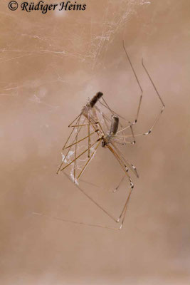 Pholcus phalangioides (Große Zitterspinne), 24.9.2018