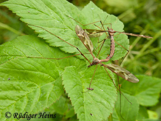 Tipula maxima (Riesenschnake) Paarung, 15.5.2011