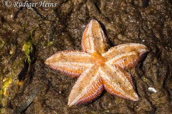 Asterias rubens (Gemeiner Seestern), 4.6.2021